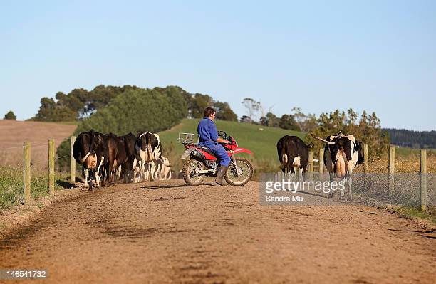 A farmer rounds up the cows for milking at a dairy farm on April 18 2012 in Morrinsville New Zealand Raw milk sales are growing as more people are...