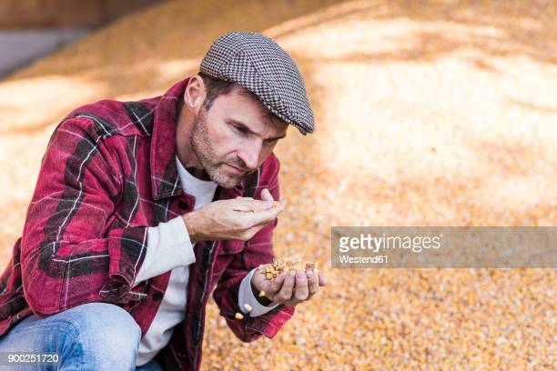 farmer scrutinizing grain of maize - mais gemüse stock-fotos und bilder