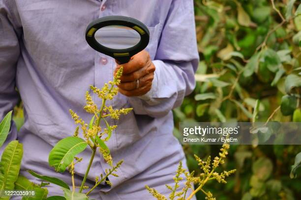 a farmer searching insect with lens on flowers of mango tree , gardening / agriculture concepts - niet gecultiveerd stockfoto's en -beelden