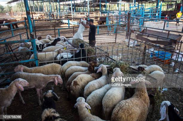A farmer seen feeding his cattle before Eid alAdha in the east of Jabalya refugee camp Eid alAdha is celebrated throughout the Islamic world as the...