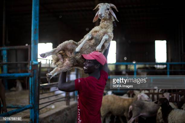 A farmer seen handling a goat at a cattle market before Eid alAdha in the east of Jabalya refugee camp Eid alAdha is celebrated throughout the...