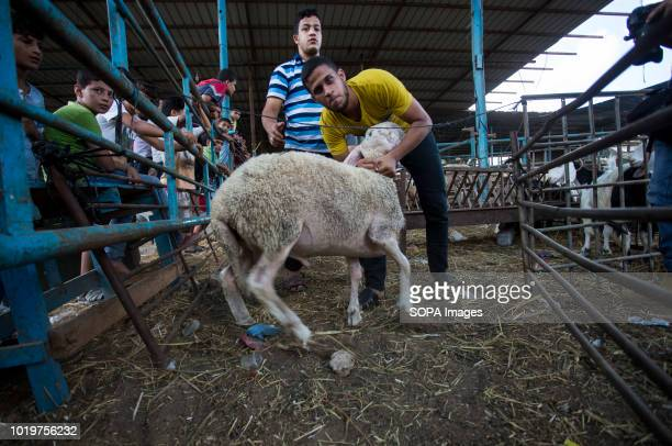 A farmer seen with a sheep before Eid alAdha in the east of Jabalya refugee camp Eid alAdha is celebrated throughout the Islamic world as the...