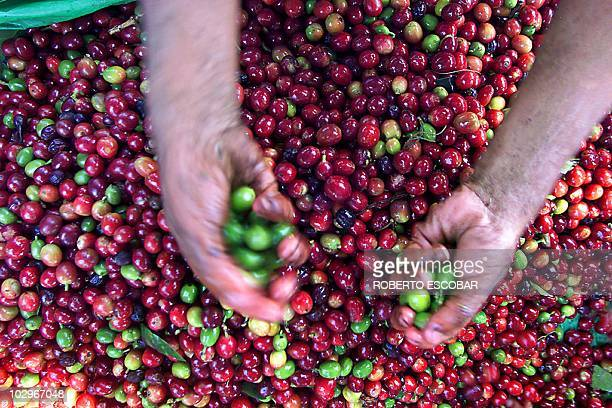 A farmer separates the green coffee seeds from the ripe ones in Comasagua 28 Km from San Salvador El Salvador 20 January 2004 Despite the...
