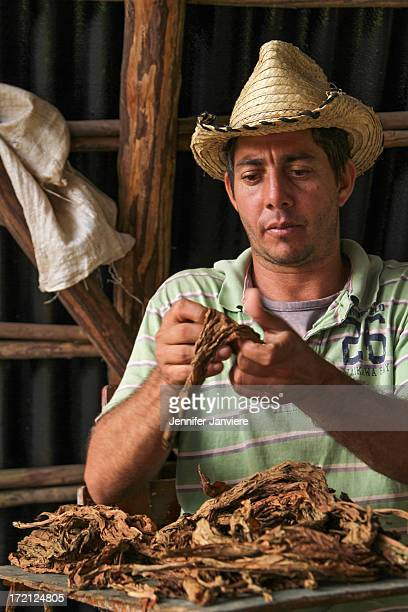 CONTENT] Farmer separates tobacco leaves inside his barn in the Pinar del Rio region of Cuba