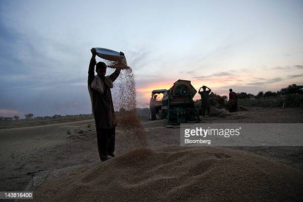 A farmer separates wheat grains from husk during a harvest in the village of Fatehganj in Punjab province Pakistan on Thursday May 3 2012 Pakistan is...