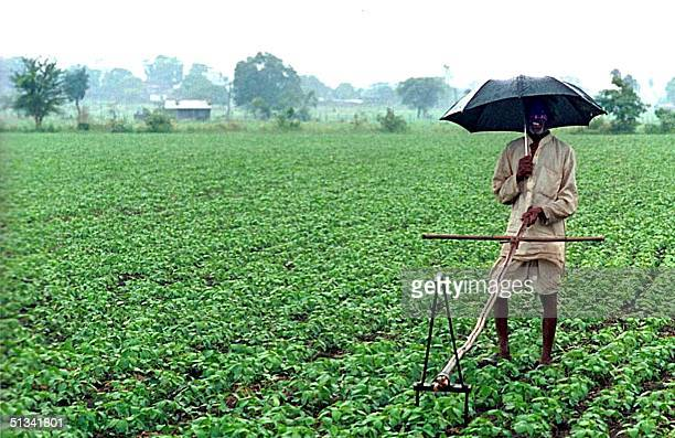 A farmer shelters from monsoon rains with an umbrella while working on his soya crop in the outskirts of Bhopal 21 July 2002 India's foodgrowing...