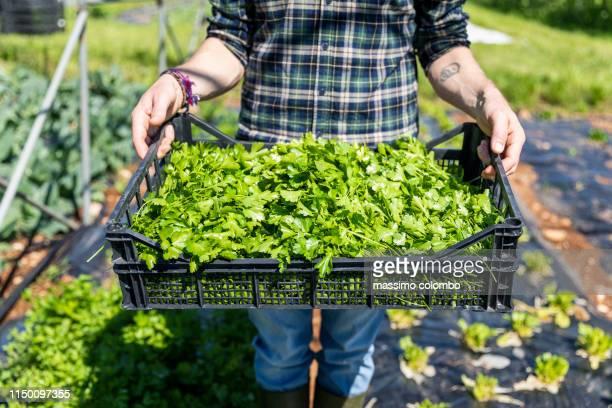 farmer showing the basket of harvested parsley - structure bâtie photos et images de collection