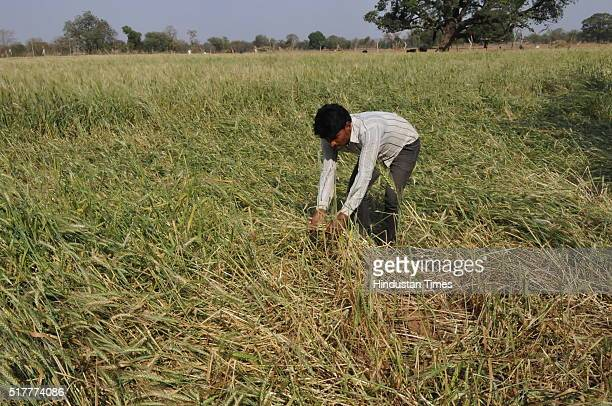 A farmer shows his wheat crop damaged by hailstorm near Jatara village on March 17 2016 in Tikamgarh district India The already serious...