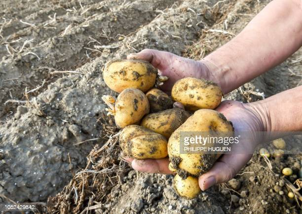 A farmer shows potatoes in a field in Rexpoëde northern France on October 15 2018 as the harvest reduced following summer drought