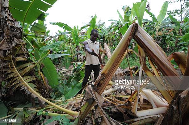 A farmer shows the damages done to his cocoa platation by an elephant on January 21 2014 in the village of Tapegue commun of Daloa The NGO IFAW...