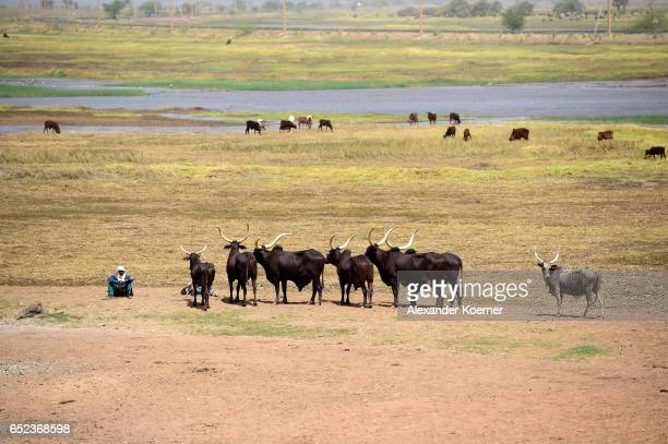 A farmer sits with his cows on a bank of the river Niger on the outskirts of Gao on March 7 2017 in Gao Mali Each week locals and Touareg nomads...