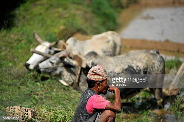A farmer smokes on a short rest during the celebration of National Paddy Day quotASHAD 15quot Rice Plantation at Chapagaun Patan Nepal on June 29...