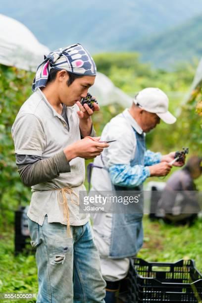 農家がブドウをスニッフィングの鮮度を確認して確認する、彼らがワイン生産のため [ok]
