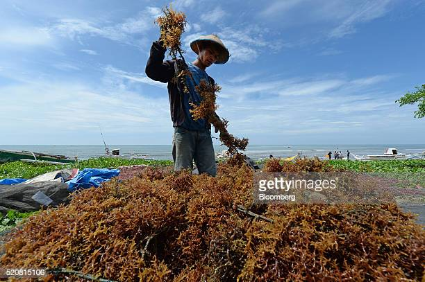 Farmer sorts through harvested seaweed in Bantaeng, South Sulawesi Province, Indonesia, on Sunday, March 13, 2016. The success of places like...