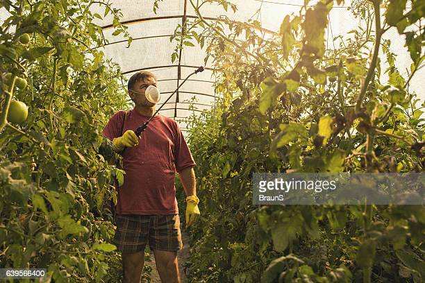Farmer spraying his tomatoes in a polyethylene tunnel.