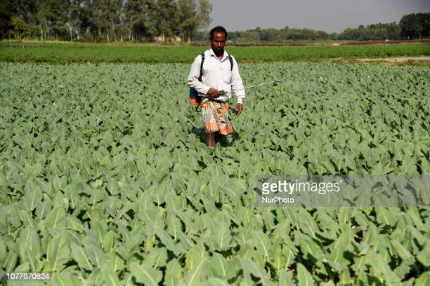 A farmer spraying insecticide in a vegetable field outside of Dhaka Bangladesh on January 3 2019 Vegetable production is contributing to the...