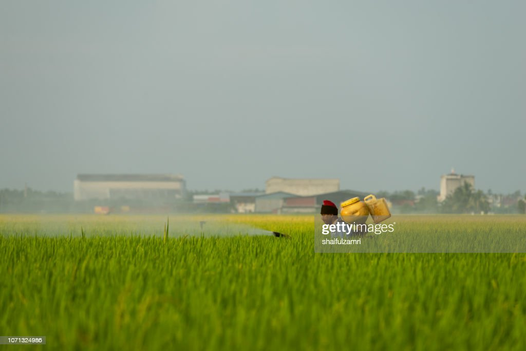 A farmer spraying pesticide at paddy field in Selangor, Malaysia. : Stock Photo