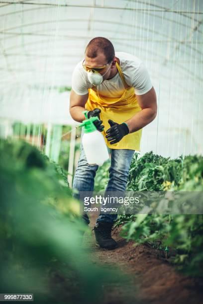 Farmer spraying plants in greenhouse