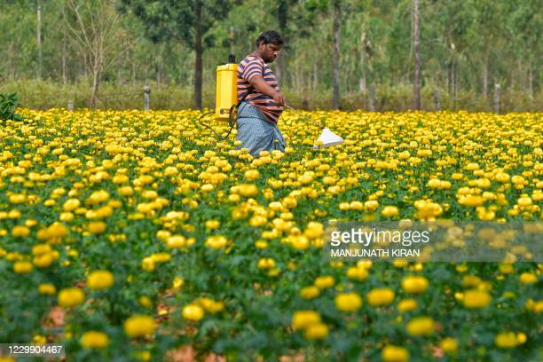 Farmer sprays herbicide to a crop of Chrysanthemum flowers at a field on the outskirts of Bangalore on December 2, 2020.