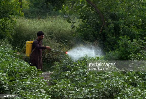 A farmer sprays pesticide on a vegetable field on the outskirts of Peshawar on June 29 2020