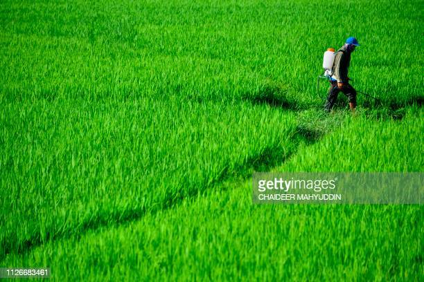 A farmer sprays pesticide onto a paddy field in Blang Bintang near Banda Aceh on February 22 2019