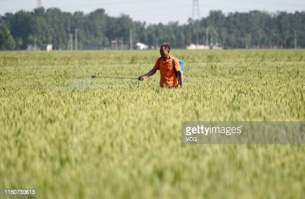 A farmer sprays pesticides over wheat field at Ci county during Xiaoman on May 21 2019 in Handan Hebei Province of China Xiaoman the 8th solar term...
