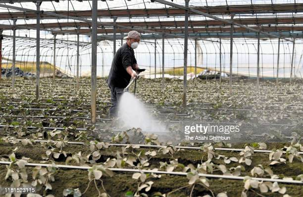 Farmer sprays sanitising agent on strawberry at a green house after Typhoon Hagibis on October 16, 2019 in Sano, Tochigi, Japan. At least 75 people...