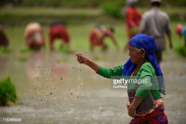 A farmer spreads fertiliser in a rice field after plantation at Chhampi Lalitpur Nepal on Sunday June 30 2019 Nepalese people celebrates Rice...