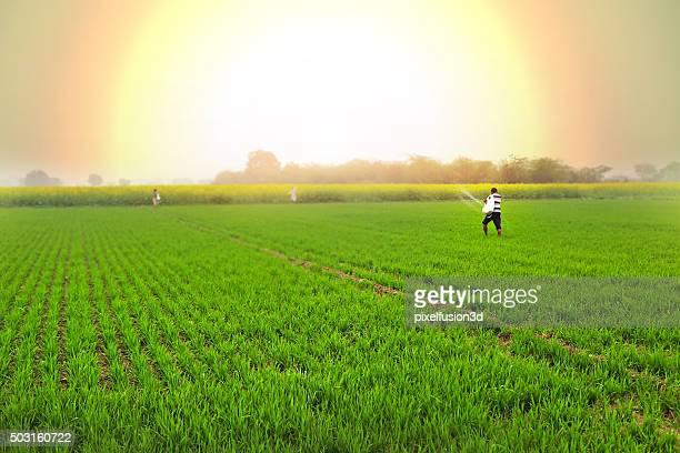 Farmer Spreads fertilizers in the Field wheat