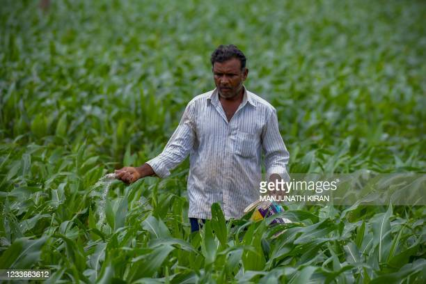 Farmer sprinkles fertiliser to a crop of maize growing in a field on the outskirts of Bangalore on June 26, 2021.