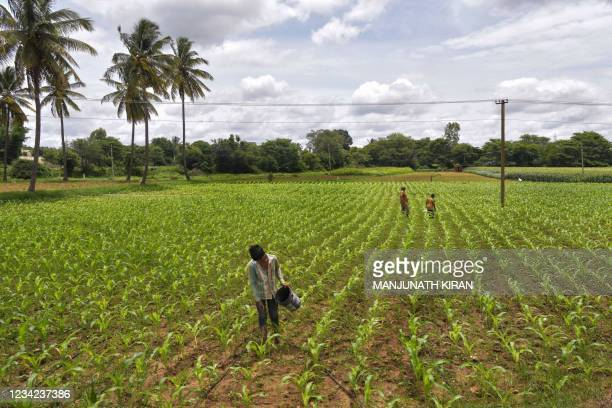 Farmer sprinkles fertiliser to a crop of maize in a field on the outskirts of Bangalore on July 27, 2021.