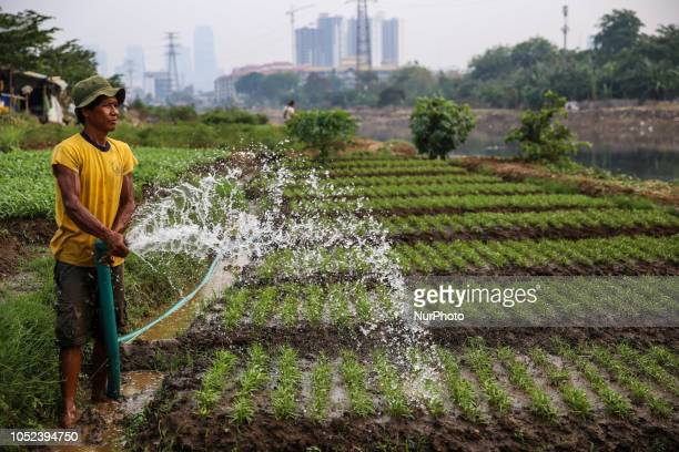 A farmer sprinkles water in a vegetable field in Jakarta Indonesia on Wednesday October 17 2018