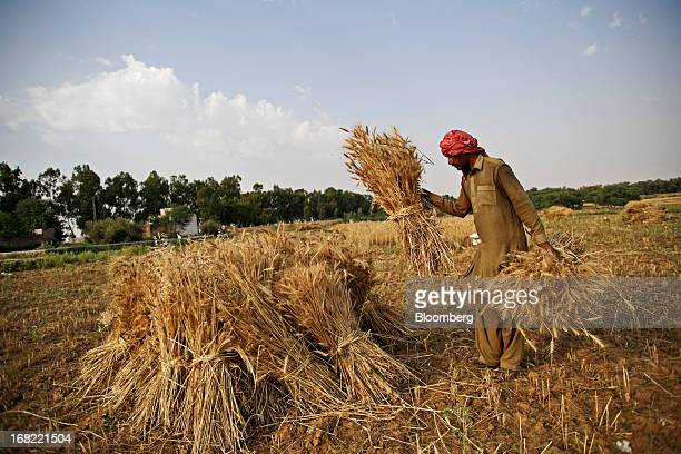A Farmer stacks bundles of wheat during a harvest in the Fatehganj district of Punjab province Pakistan on Sunday May 5 2013 Pakistan wheat output to...