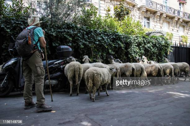 A farmer stand by her sheep eating ivy during an urban transhumance in Paris on July 17 2019 The shepherds of SeineSaintDenis and their herd begin on...