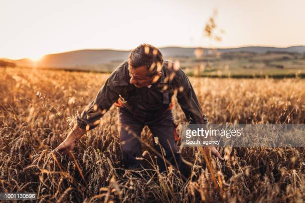 farmer standing in a golden wheat field - organic farm stock pictures, royalty-free photos & images