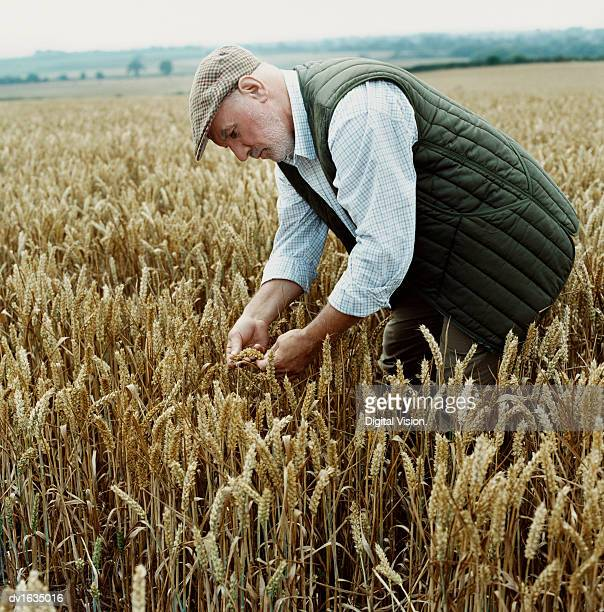 Farmer Standing in a Wheat Field, Bending over and Examining the Crop