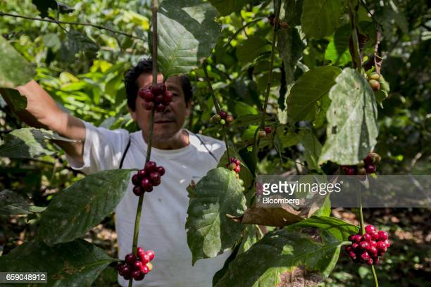 A farmer stands behind coffee cherries on a plantation in Tecpatan Mexico on Monday March 20 2017 When an angry mob torched City Hall in the southern...