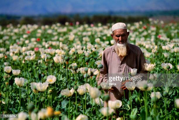 A farmer stands in a cultivated opium poppy field on April 2004 in the Pashtun tribal zone on the Afghanistan side of the border Legal crops are not...