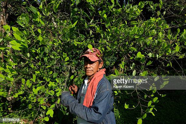 A farmer stands in front of a Coca plant in a farm in the small village of Vereda La Heroica on December 28 2016 in Corinto Colombia Due to lack of...
