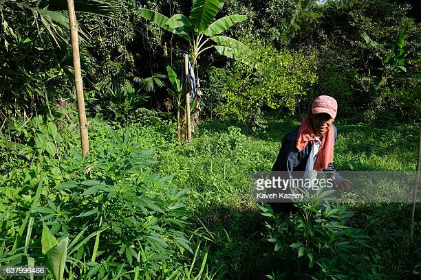 Farmer stands in front of Cannabis plants in a farm in the small village of Vereda La Heroica on December 28, 2016 in Corinto, Colombia. Due to lack...