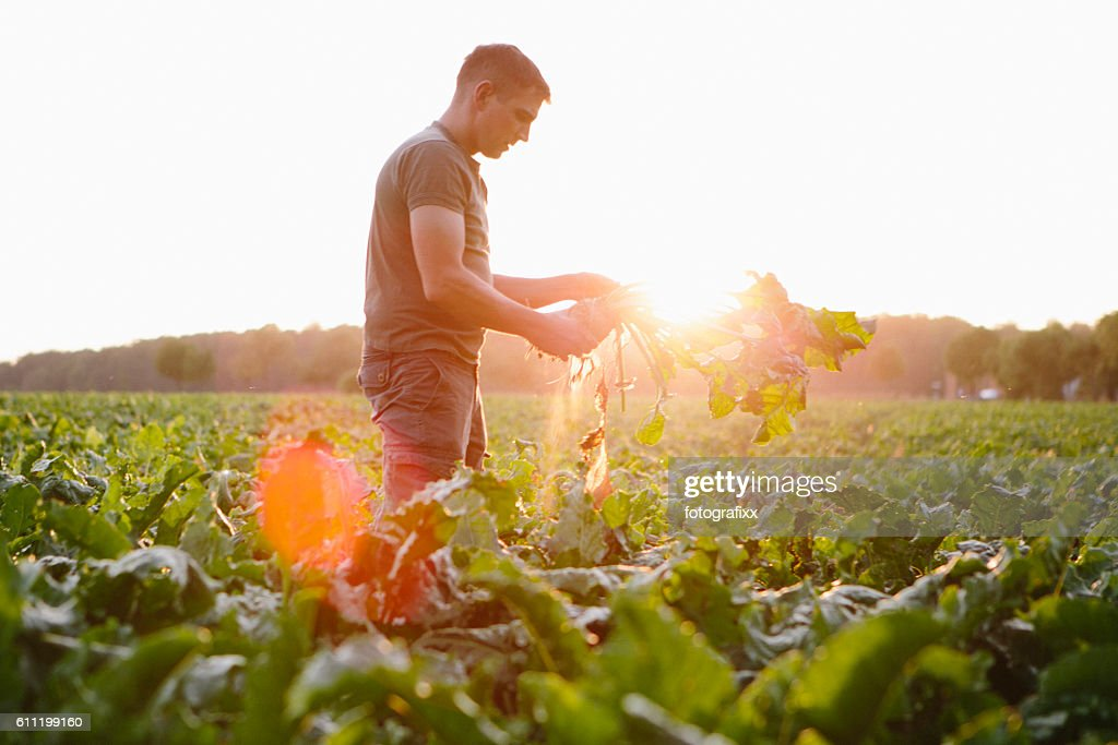 farmer stands in his fields, looks at his sugar beets : Stock Photo