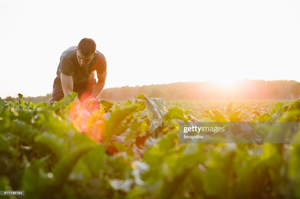 farmer stands in his fields, looks at his sugar beets : Foto de stock