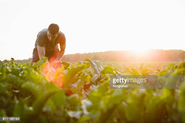 farmer stands in his fields, looks at his sugar beets - feld stock-fotos und bilder