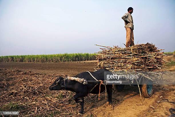 A farmer stands on harvested sugar cane stalks loaded on a bullock cart near Modi Nagar in Uttar Pradesh India on Friday Nov 12 2010 Sugar production...