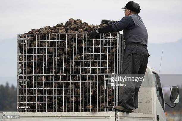 A farmer stands on the side of a truck as he adjusts harvested konjac roots in a metal container in Showa Village Gunma Prefecture Japan on Tuesday...