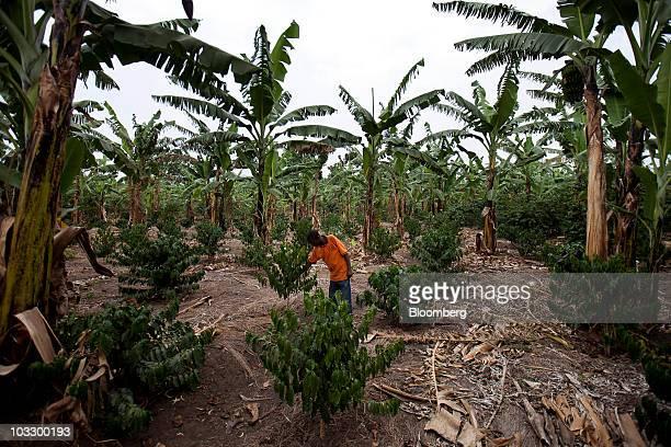 A farmer surveys his Arabica coffee plants grown in the shade of banana trees on a small plantation in western Uganda on Thursday July 22 2010 Uganda...