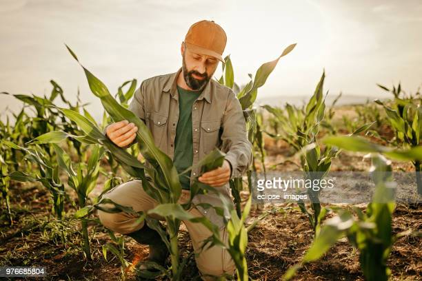 farmer takes care of his crops - maize stock pictures, royalty-free photos & images