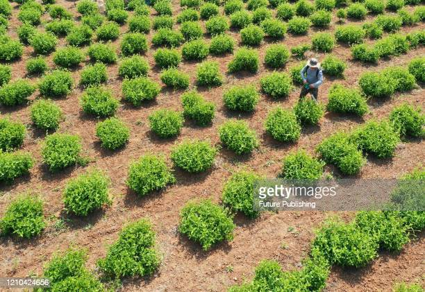 ZAOZHUANG CHINA APRIL 18 2020 A farmer takes care of honeysuckle Zaozhuang City Shandong Province China April 18 2020 PHOTOGRAPH BY Costfoto /...