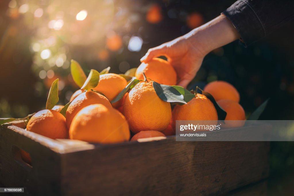 Farmer taking fresh orange from wooden box in orange orchard : Stock Photo