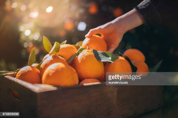 farmer taking fresh orange from wooden box in orange orchard - arancione foto e immagini stock